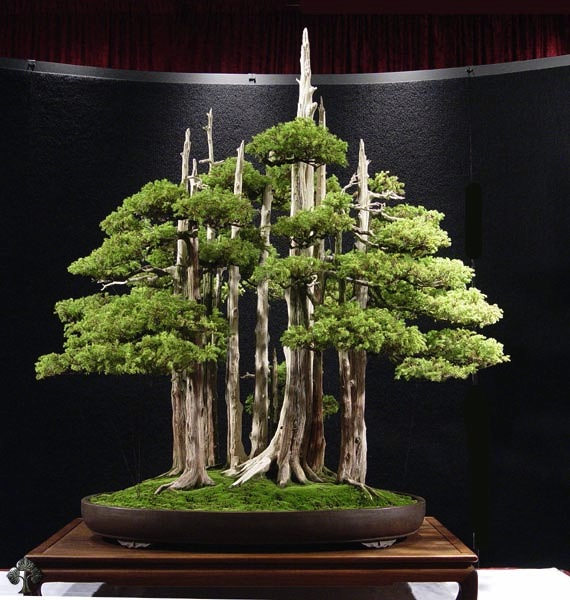 Wacholder (Juniperus Bonsai)