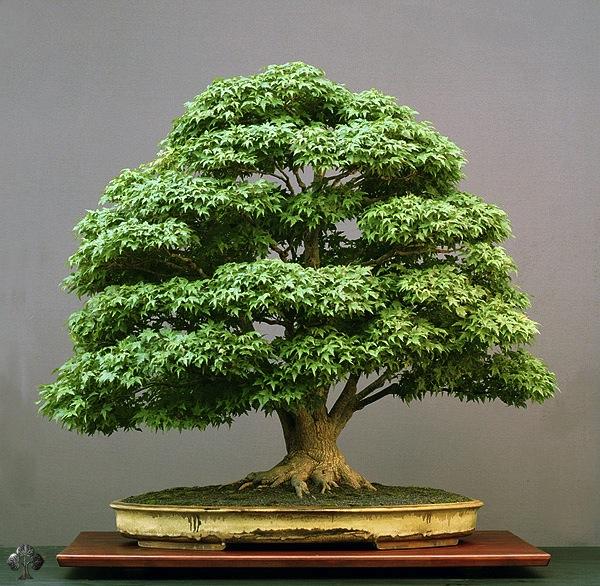 Top 10 Der Bemerkenswertesten Bonsai Baume Bonsai Empire