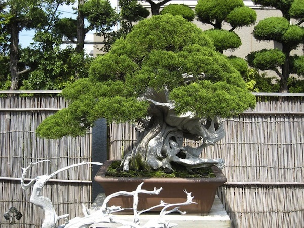 Juniper Bonsai by mr. Kimura