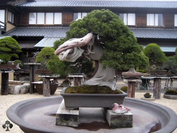 Juniper Bonsai in Japan