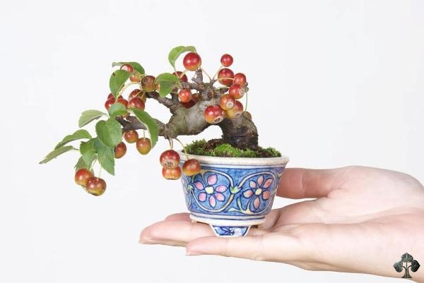 Crabapple Bonsai