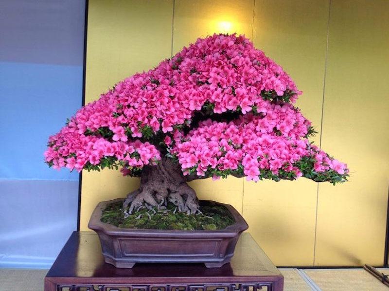 Japanische Azalee Bonsai   Die schönsten Einrichtungsideen