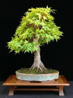bonsai baum günstig