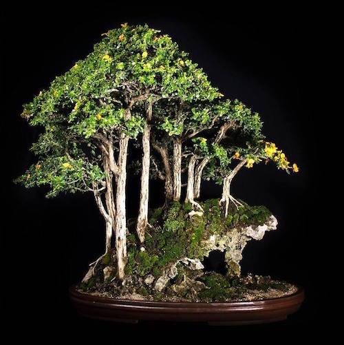 top 7 gro artige bonsai w lder bonsai empire. Black Bedroom Furniture Sets. Home Design Ideas
