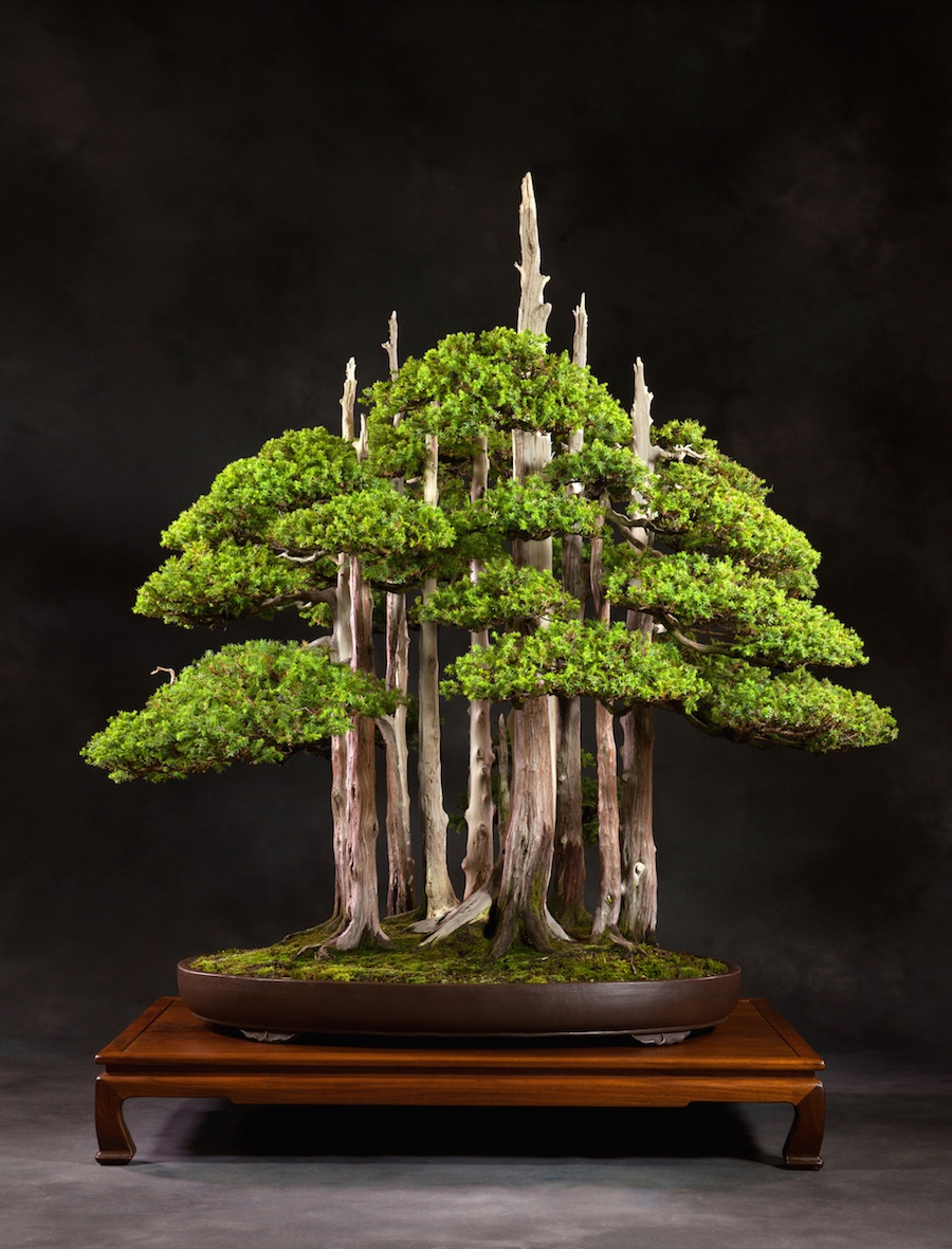 Goshin Bonsai