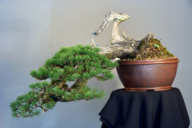 Pot in use; pinus mugo bonsai