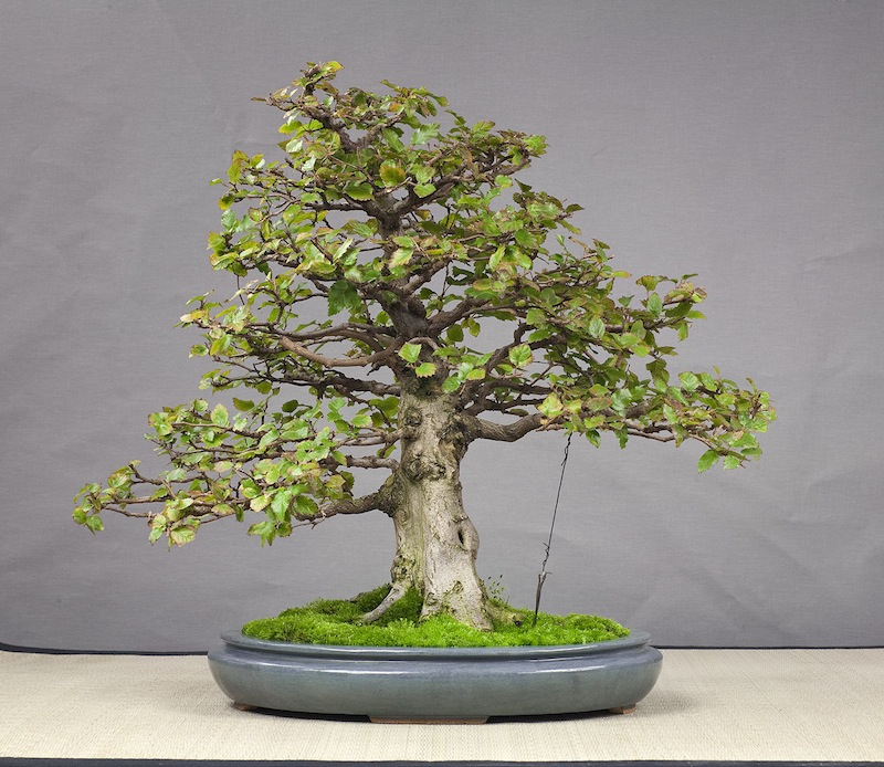 Bonsai in the pot