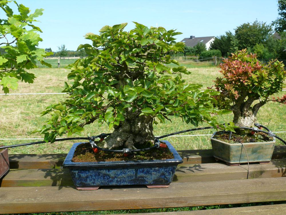 Bonsai drip line watering