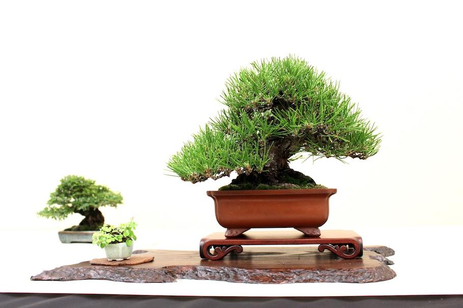 bonsai kiefernarten pinus bonsai empire. Black Bedroom Furniture Sets. Home Design Ideas