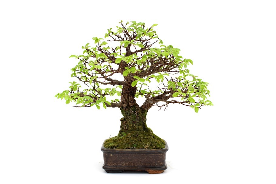 Tapering on a Bonsai tree