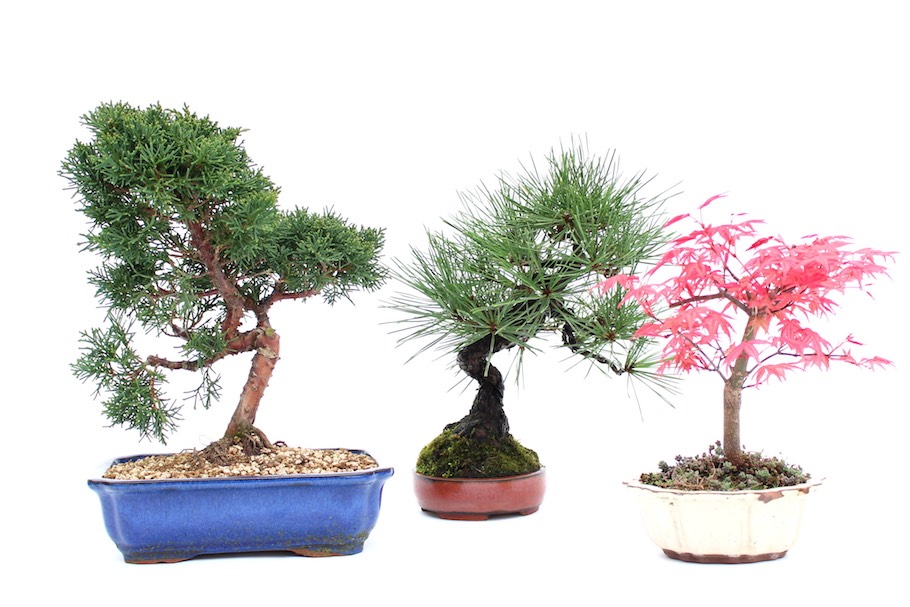 Outdoor bonsai