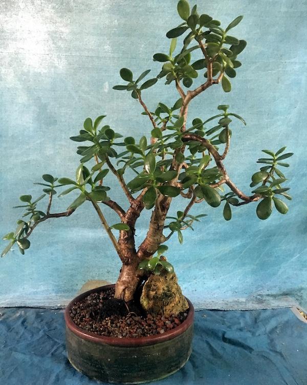 Jadebaum (Portulacaria afra) - Bonsai Empire