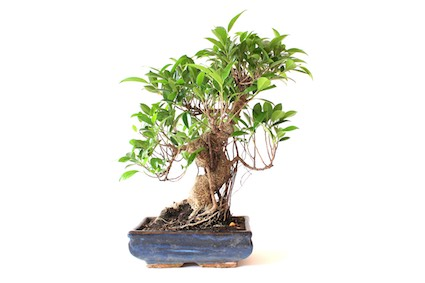 Ficus Bonsai (Retusa, Ginseng) - Bonsai Empire
