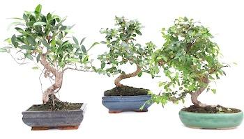 Aufzucht Und Kultivierung Von Bonsai-bäumen - Bonsai Empire Basiswissen Bonsai Baum Arten Pflege