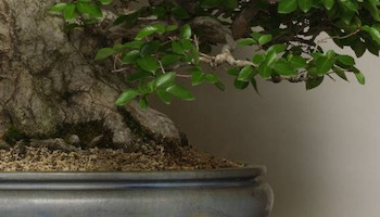 Bonsai verwandte k nste bonsai empire for Japanische zierfische