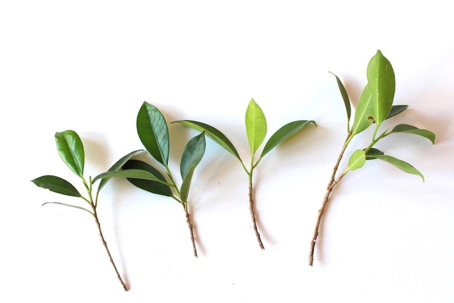 ahorn schneiden jungbaum