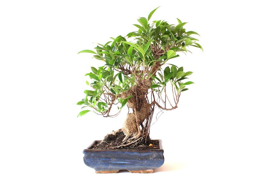 mein bonsai verliert die blätter