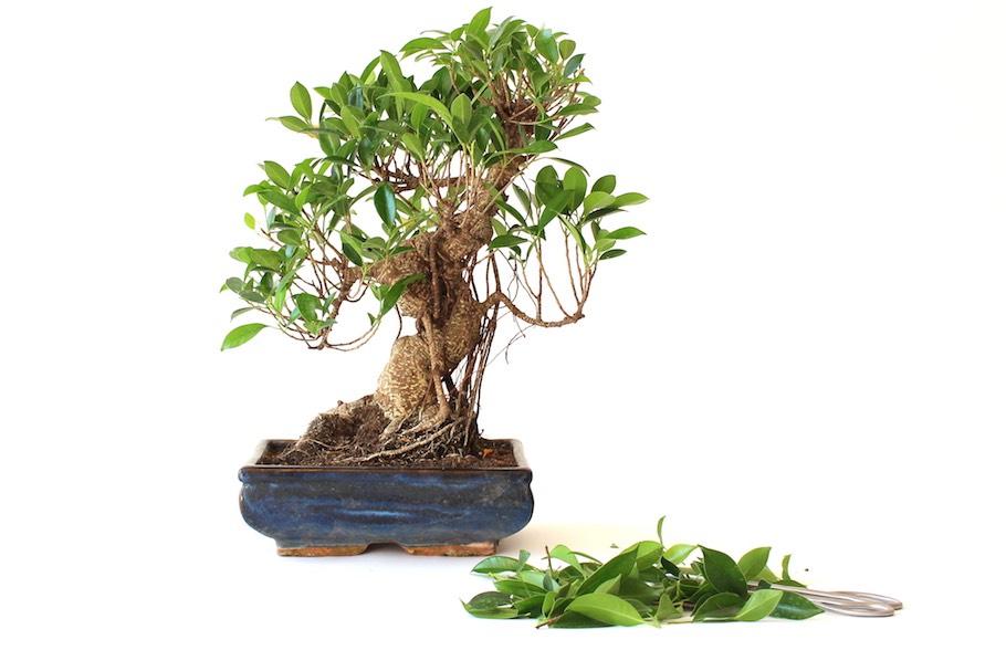 Bonsai Gestalten schnitt als gestaltungsmaßnahme - bonsai empire