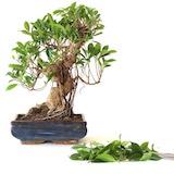 schnitt als gestaltungsma nahme bonsai empire. Black Bedroom Furniture Sets. Home Design Ideas