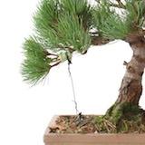 bonsai ste mit draht formen bonsai empire. Black Bedroom Furniture Sets. Home Design Ideas