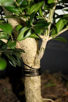 Grafting bonsai