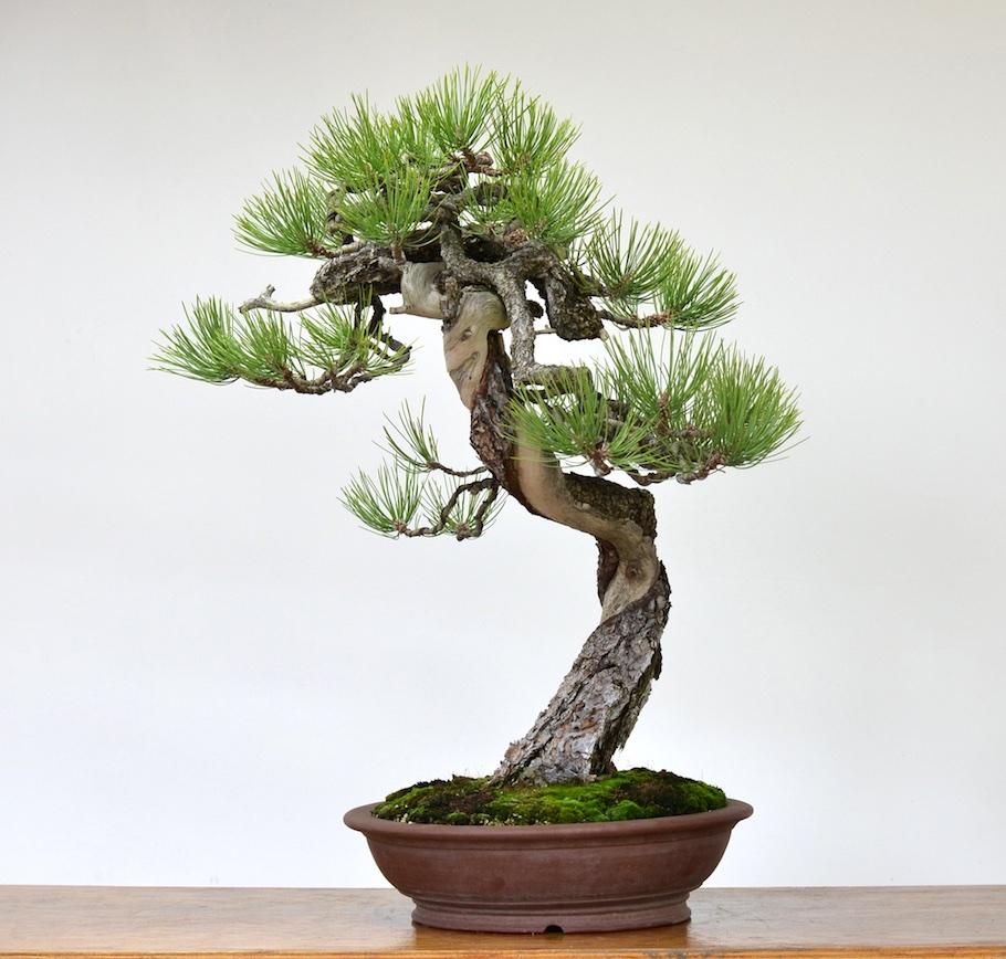 Bonsai Kiefernarten Pinus Bonsai Empire
