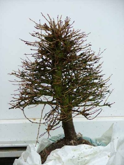 Larch prebonsai