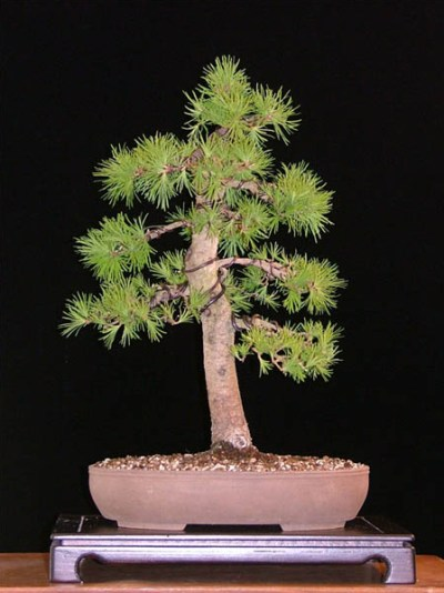 Larch bonsai in summer