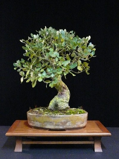 Cork oak bonsai tree