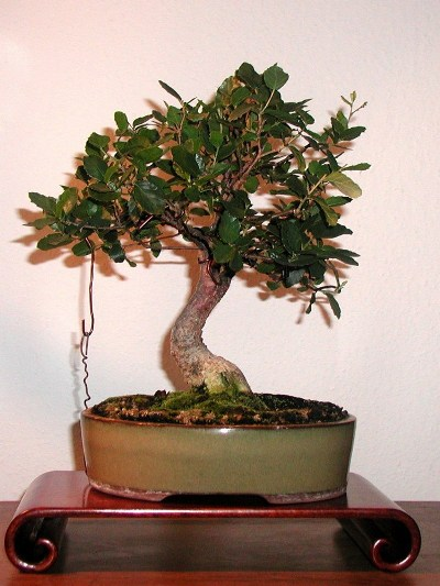 Cork oak bonsai