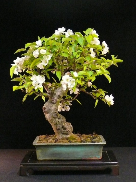 Flowering malus bonsai