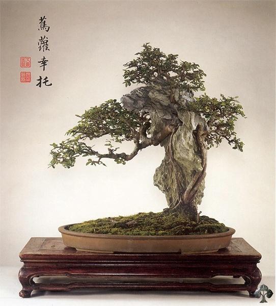 Chinesische Ulme Bonsai (Ulmus parviflora) - Bonsai Empire