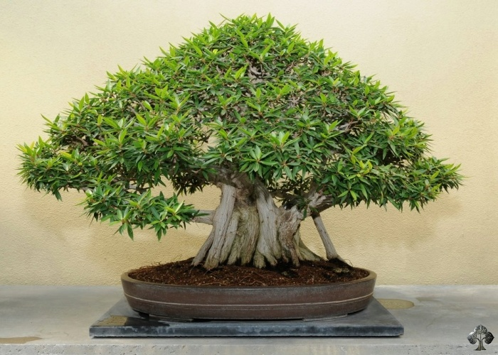 Ficus Bonsai (Ficus retusa / ginseng Bonsai)