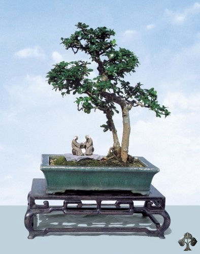 Fukientee bonsai