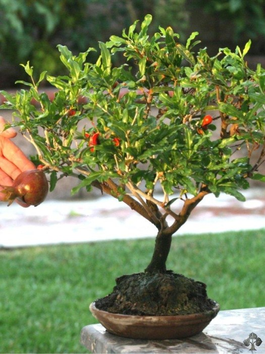 Granatapfel Bonsai (Punica granatum)