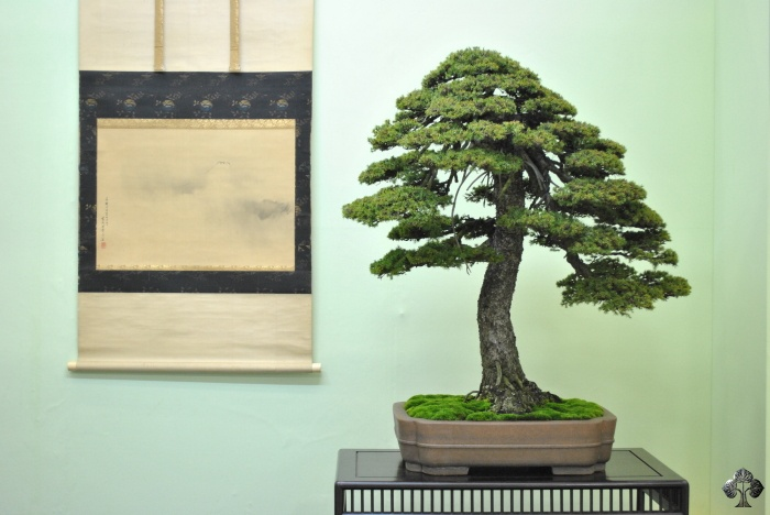 Fichte Bonsai (Picea)