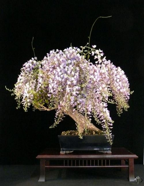 Wisteria Bonsai with flowers