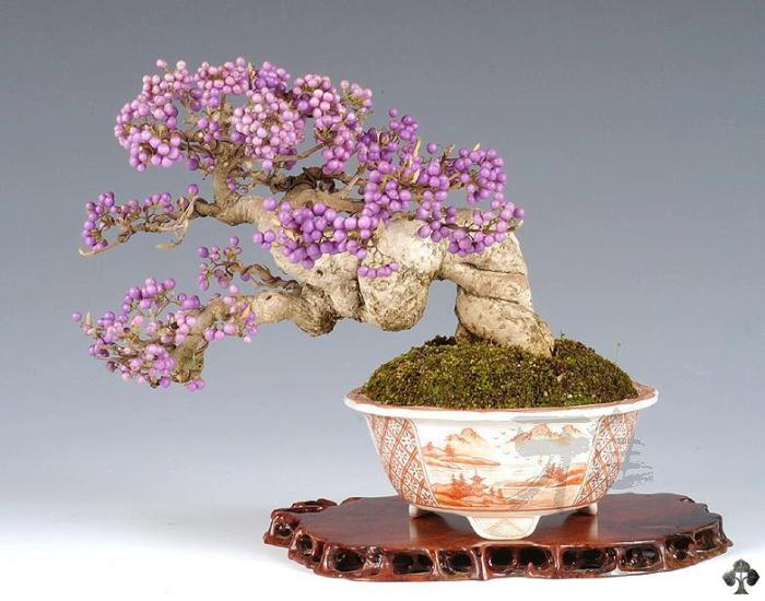 Callicarpa Japonica Bonsai with fruits