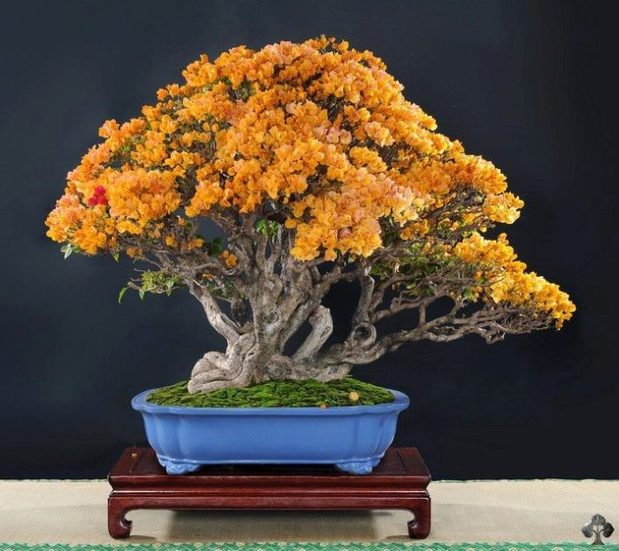 Orange flowers on this Bonsai