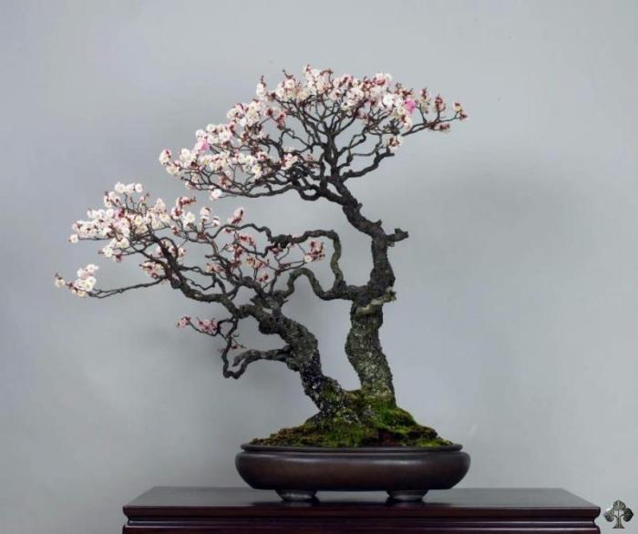 Prunus mume Japanese apricot Bonsai